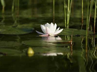 Lotus leaf floating on water